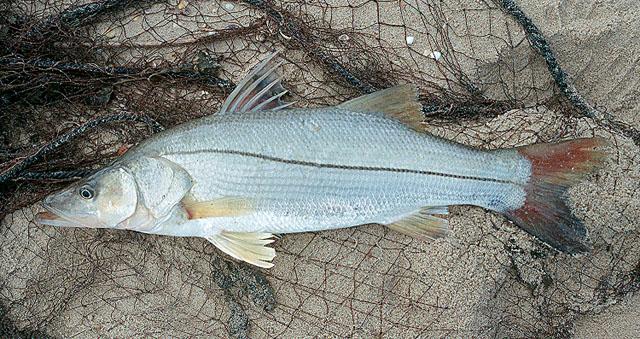 La Pesca del Róbalo (Centropomus sp.) por José Manuel López Pinto / Actualizado a 03 de Noviembre del 2013 Cemex_u0