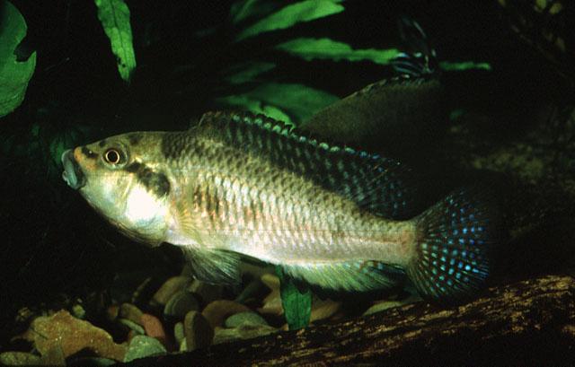 Картинки по запросу Orthochromis mosoensis