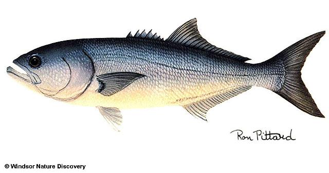 Изображение рыбы луфарь (Pomatomus saltatrix )