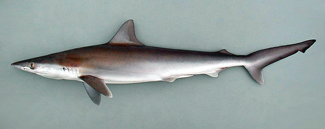 TalkMilk shark  Wikipedia