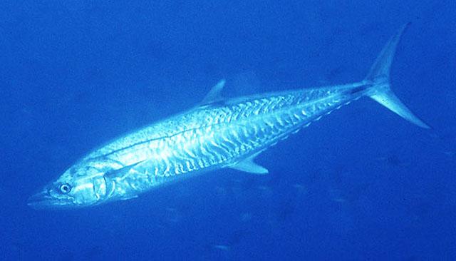ceylan balığı ile ilgili görsel sonucu