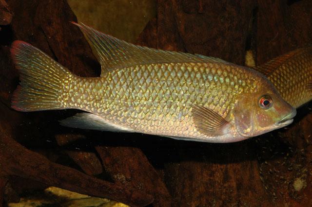 Картинки по запросу Oreochromis ismailiaensis