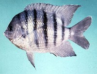 Image of Abudefduf bengalensis (Bengal sergeant)