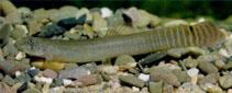 Image of Aborichthys elongatus