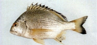 Image of Acanthopagrus chinshira (Okinawan yellow-fin seabream)