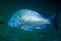 Image of Acanthopagrus berda (Goldsilk seabream)