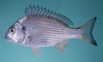 Image of Acanthopagrus sheim (Spotted yellowfin seabream)