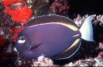 Image of Acanthurus nigricans (Whitecheek surgeonfish)