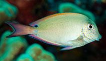 Image of Acanthurus nigrofuscus (Brown surgeonfish)