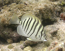 Image of Acanthurus polyzona (Black-barred surgeonfish)