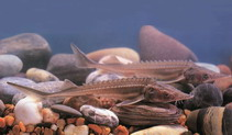 Image of Acipenser schrenckii (Amur sturgeon)