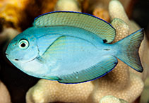 Image of Acanthurus thompsoni (Thompson\