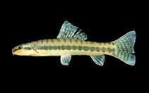 Image of Paracanthocobitis zonalternans