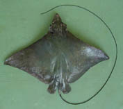 Image of Aetobatus flagellum (Longheaded eagle ray)