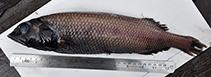 Image of Alepocephalus blanfordii