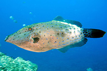 Image of Aluterus scriptus (Scribbled leatherjacket filefish)