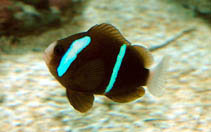 Image of Amphiprion akindynos (Barrier reef anemonefish)