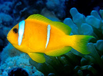 Image of Amphiprion bicinctus (Twoband anemonefish)