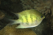 Image of Amblyglyphidodon curacao (Staghorn damselfish)