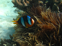 Image of Amphiprion latifasciatus (Madagascar anemonefish)