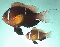 Image of Amphiprion omanensis (Oman anemonefish)