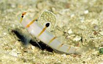 Image of Amblyeleotris randalli (Randall\