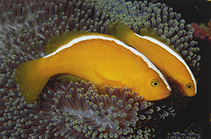 Image of Amphiprion sandaracinos (Yellow clownfish)