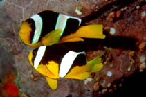 Image of Amphiprion sebae (Sebae anemonefish)