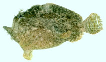 Image of Antennatus dorehensis (New Guinean frogfish)