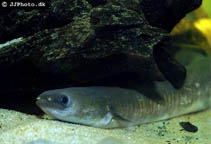 Image of Anguilla mossambica (African longfin eel)