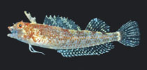 Image of Apopterygion alta (Tasselled Threefin)