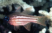 Image of Ostorhinchus compressus (Ochre-striped cardinalfish)
