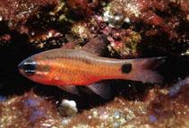 Image of Apogon dovii (Tailspot cardinalfish)