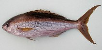 Image of Apsilus fuscus (African forktail snapper)
