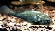 Image of Aplodinotus grunniens (Freshwater drum)