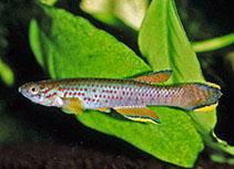Image of Aphyosemion heinemanni (Heinemann\
