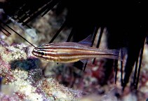 Image of Ostorhinchus holotaenia (Copperstriped cardinalfish)