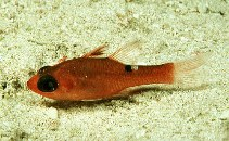 Image of Apogon lachneri (Whitestar cardinalfish)