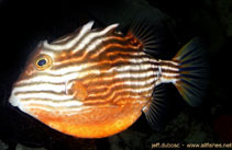 Image of Aracana aurita (Striped cowfish)
