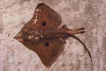 Image of Atlantoraja cyclophora (Eyespot skate)