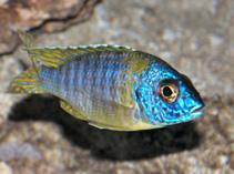 Image of Aulonocara korneliae (Aulonocara chizumulu)
