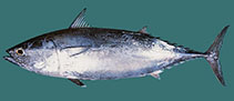 Image of Auxis thazard (Frigate tuna)