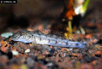 Image of Awaous lateristriga (West African freshwater goby)