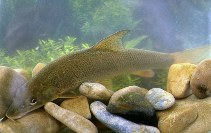 Image of Barbus barbus (Barbel)