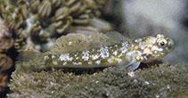 Image of Bathygobius cocosensis (Cocos frill-goby)