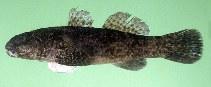 Image of Bathygobius cotticeps (Cheekscaled frill-goby)