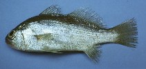 Image of Corvula sanctaeluciae (Striped croaker)