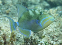 Image of Balistes vetula (Queen triggerfish)