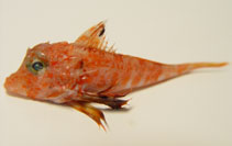 Image of Bellator brachychir (Shortfin searobin)