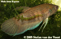 Image of Betta pinguis